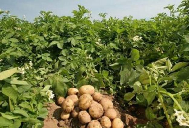 Suitable time for potato sowing to start from October