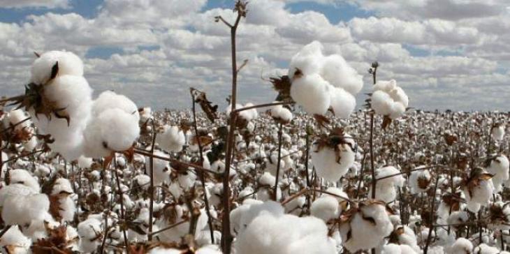 Cotton arrival in local markets decreases 26.41%