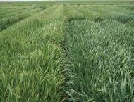 Farmers must sow certified wheat varieties