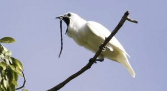 World's loudest bird sings heart out in pursuit of love
