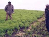 Lentil cultivation should be started immediately: Agri Experts