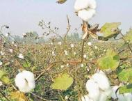 Farmers advised pest scouting to save cotton crop from pink bollw ..