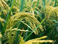 First spell of winter rains beneficial for Rabi crops