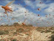 Locusts damages standing crops in Tharparkar
