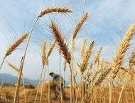 Project to increase per acre yield of wheat begins