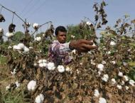 Let animals graze after last cotton picking to kill pink bollworm ..