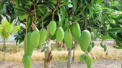 UHD plantation vital to promote mango,enhance growers income