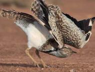 Houbara Bustard population census shows slight decline, less hunt ..