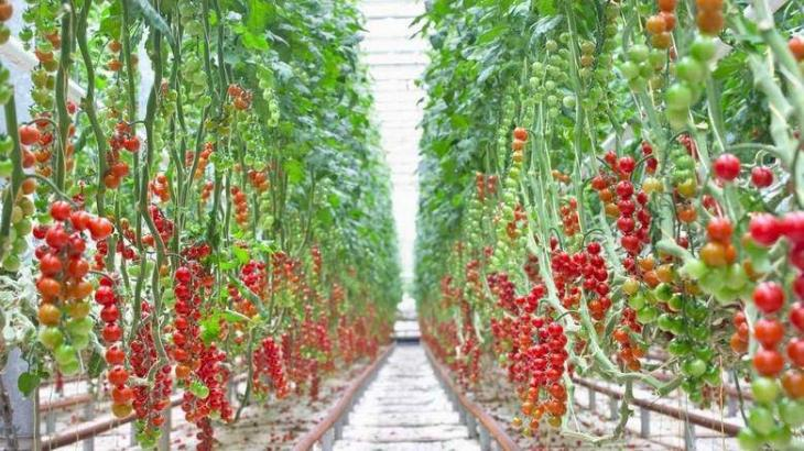 Commercial-scale indoor tomato farm to open in Abu Dhabi