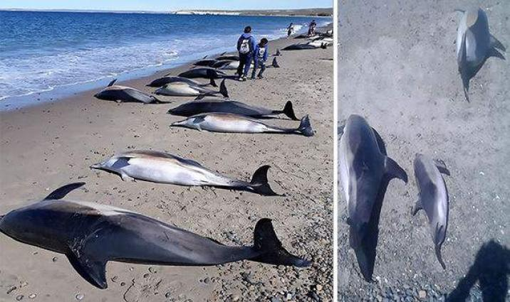 Rare deep sea dolphins wash up on Aussie beach baffling scientists