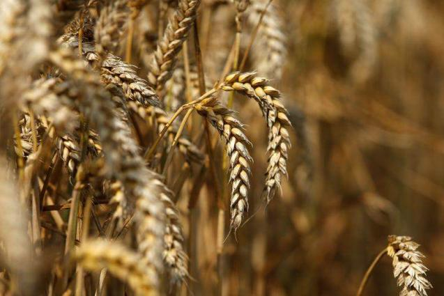 Wheat sowing witnesses 1.014% growth, as crop cultivated over 8.079 mln hectares