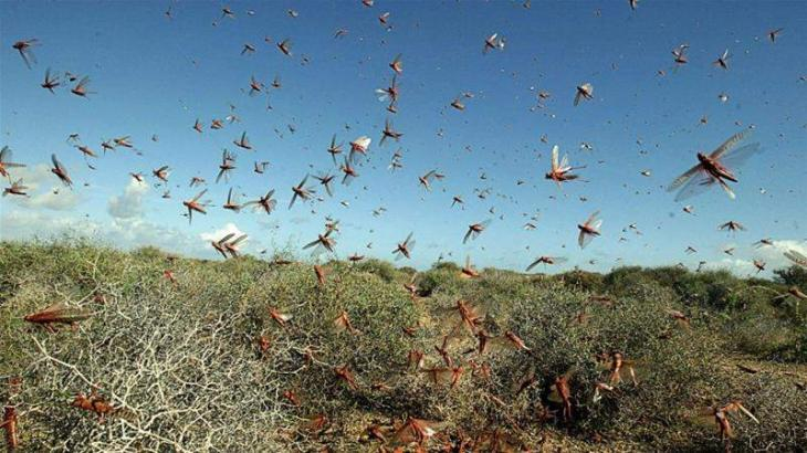 Agriculture dept in liaison with relevant departments to control locust attack