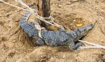 Missing Crocodile from Ghotki Park recovered: Sindh Wildllife off ..
