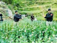 Police destroy poppy crop in Gadoon Amazia area