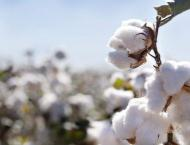 Govt offers subsidy on PB Ropes to control pink bollworm attack o ..