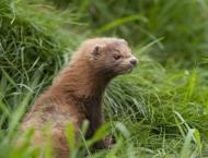 Dutch ban transport of mink after farm workers infected