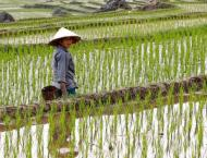Chinese young man devotes three years to improving rice productio ..