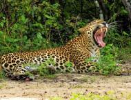 Traps snare three endangered leopards in Sri Lanka