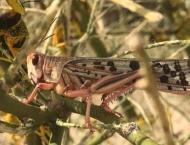 Maximum resources ensured for anti-locust operation