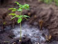 University of Agriculture Faisalabad plants 25000 saplings