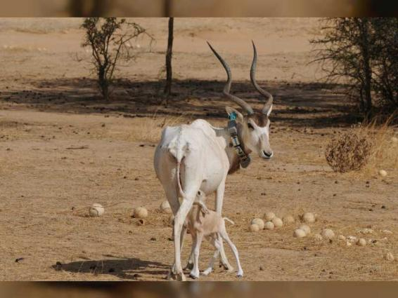 EAD celebrates first critically endangered Addax born in the wild in Chad