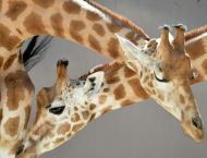 Dozens saved in Niger flooding; giraffe drowns