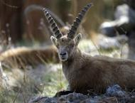 Swiss to ban foreign trophy hunters from killing Alpine ibex
