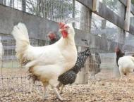 Around 1300 birds distributed under PM's 'Backyard Poultry Initia ..
