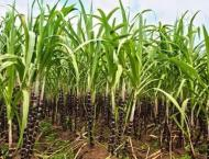 Growers advised of timely cultivation of sugarcane's better varie ..