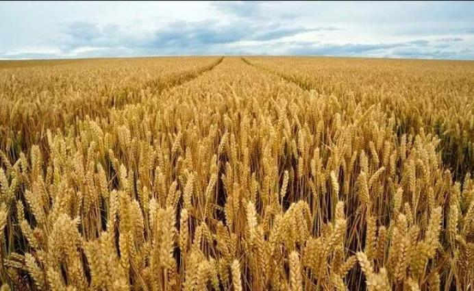 Farmers should prepare land for wheat cultivation