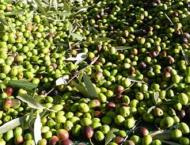 Bad weather, bacteria cut Italy's olive oil output