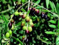 Speakers for promoting olive cultivation to enhance farm income
