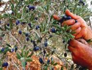 Govt takes productive initiative for olive promotion in tribal di ..
