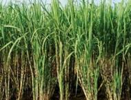 Production of Sugarcane, rice increase: FCA told