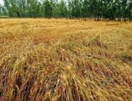 Growers advised to use modern technology for wheat cultivation