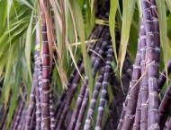 Farmers to avail  Rs 5000/acr subsidy on sugarcane cultivation