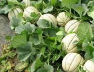 Melon cultivation must start in February