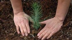 Mayor Islamabad planted pine tree at NPC