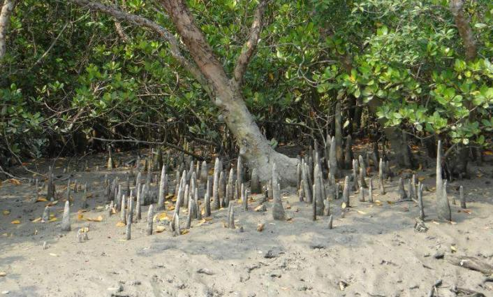 KPT plants 4,800 mangrove trees