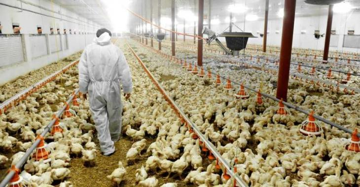 Japan to Cull Some 250,000 Chickens Over New Bird Flu Outbreak - Reports