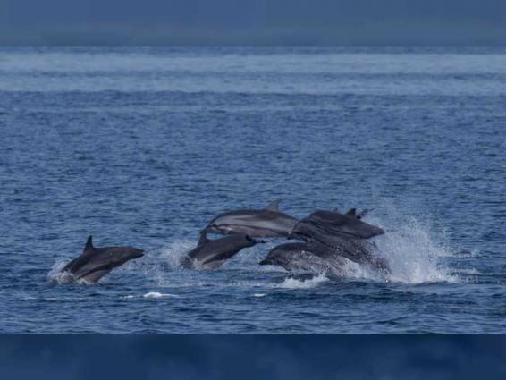 Rare dolphin recorded off Fujairah