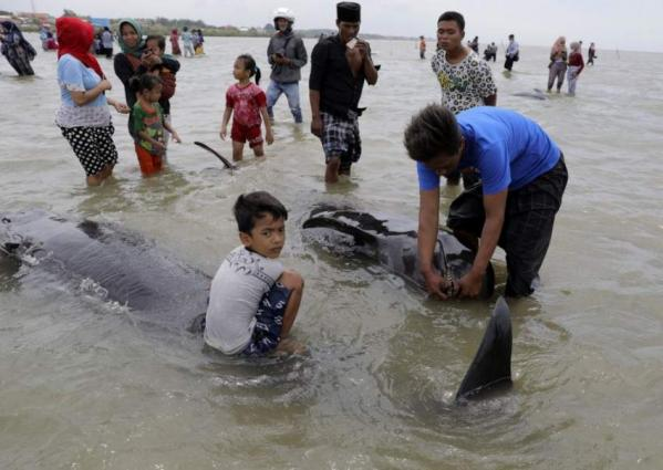 Over 50 Pilot Whales Die in Indonesia From Being Stranded in Shallow Waters - Authorities