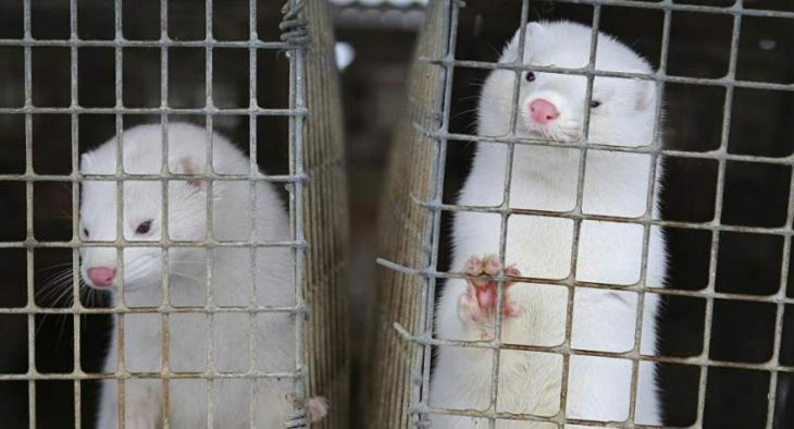 Denmark Announces Tender to Exhume, Transport Culled Mink For Incineration