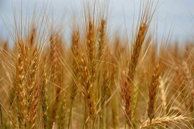 184,000 metric ton wheat procurement target set for Multan district