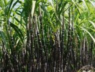Over 75,000 bio-agent control cards provided to sugarcane growers ..