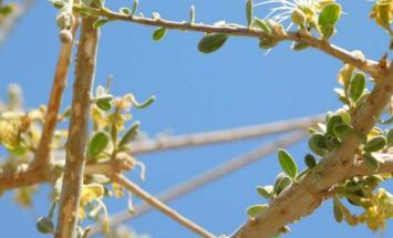 """هيئة البيئة تنجح بزراعة أشجار """"السرح"""" .."""