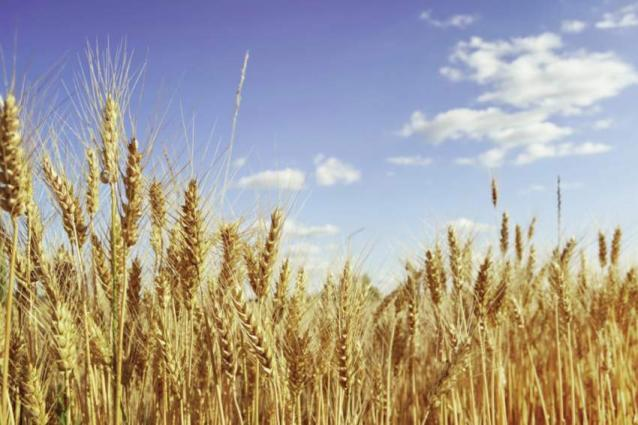 Growers advised to keep weather situation in mind before harvesting wheat crop