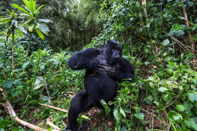 Big beats: Gorilla chest thumps 'signal' body size