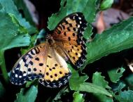 Australian study shows 26 butterflies at great risk of extinction ..