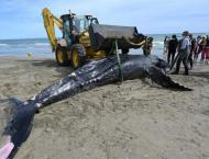 Humpback whale found dead on beach in France